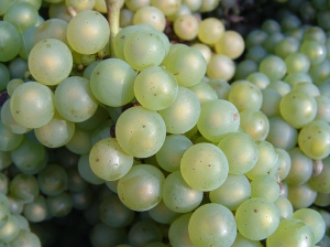 Chardonnay_grapes_close_up