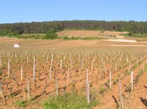 Pinor_Noir_vines,_Clos_de_Bèze,_Burgundy